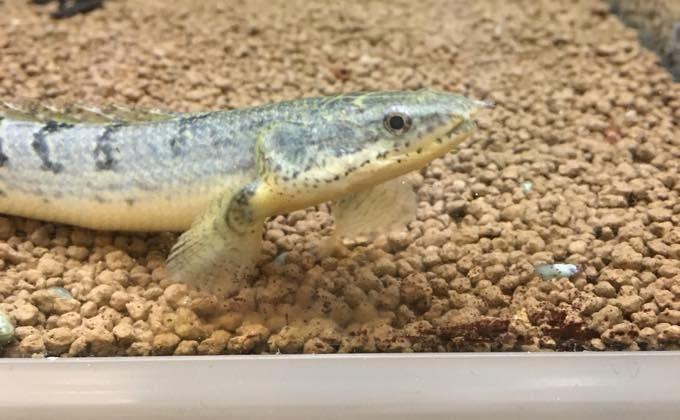 ポリプテルスデルヘッジの飼育方法 寿命や成長速度 60cm水槽で飼育できる Woriver ポリプテルス 観賞魚 ミクロソリウム
