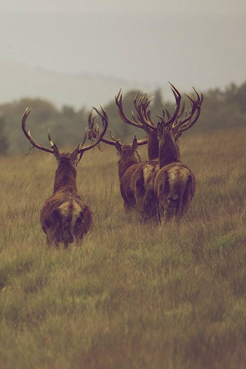 Red Deer by James Morris