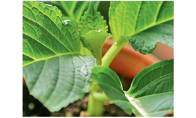 Hortensien vermehren: Schritt 3 von 3