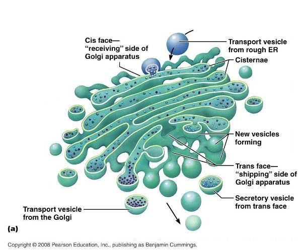 Golgi Apparatus - Bing Images