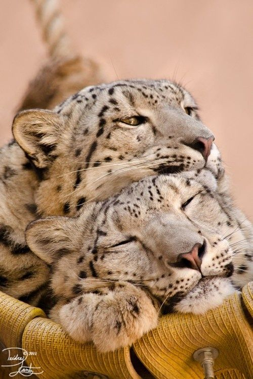 Snow Leopards <3