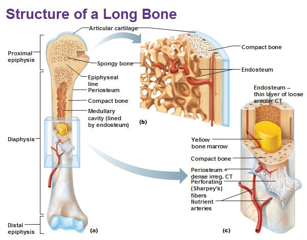 9 best images about skeletal on pinterest | skeletal system, Cephalic Vein
