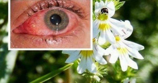 EΥΦΡΑΣΙΑ ..  Το βότανο που βελτιώνει πολύ την όραση