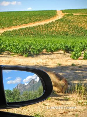 1camera1mom: Kanonkop Estate ~ We live in the Western Cape, rich in vineyards and beautiful countrysides. #travel #photography #blog  #SouthAfrica #beautiful #wine #country