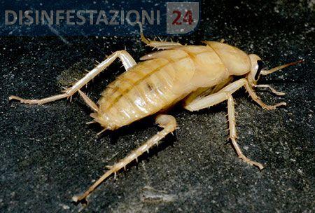 #disinfestazione #scarafaggi #blatte #blatta #blatella #scarafaggio #albino