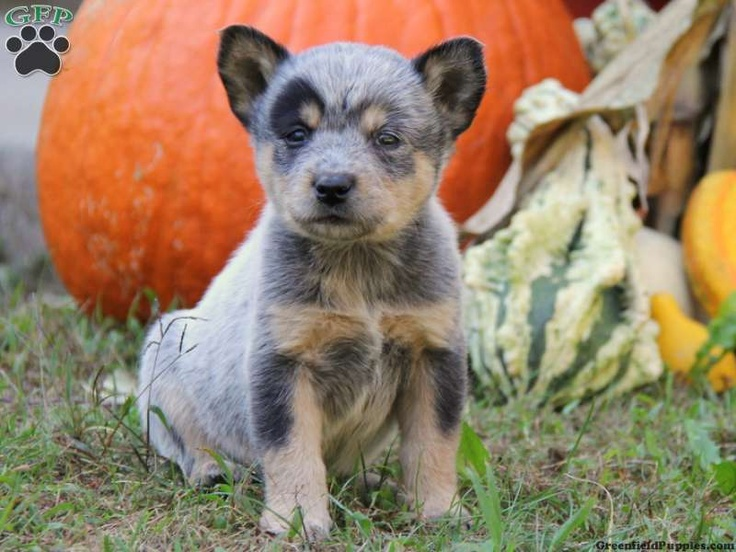 Cassie Australian Cattle Dog Puppies for Sale in PA