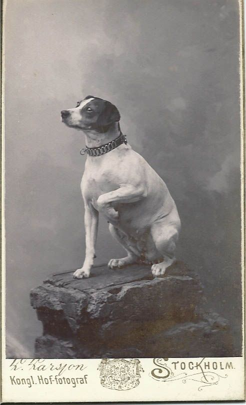 "c1890s cdv of obedient dog wearing a fancy collar and holding one paw up as she sits on a photographer's studio ""rock."" Photo by L. Larsson, Stockholm. From bendale collection"