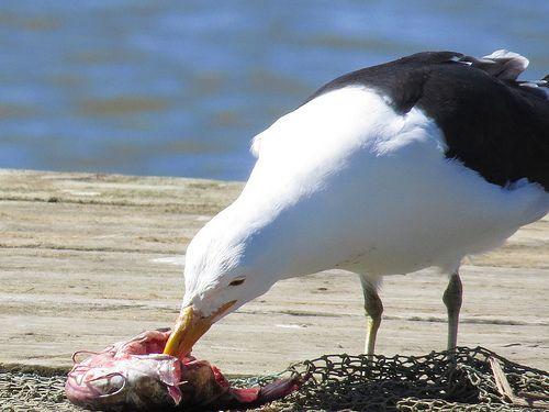 227 Bird life in Velddrif in Bokkom laan