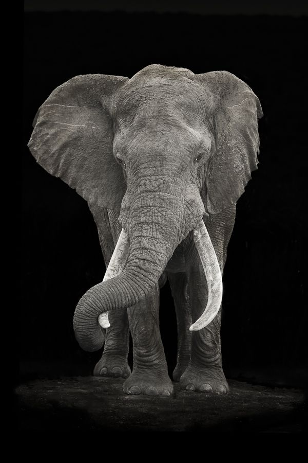 A large Elephant Bull ( Loxodonta Africana ) captured in Hapoor Dam in Addo Elephant National Park in South Africa.