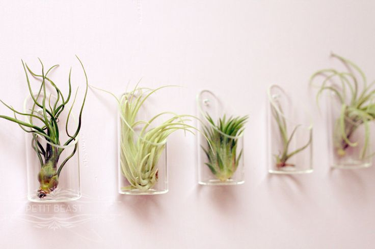 Medium air plant and glass vase wedding favor decor for Air plant wall art