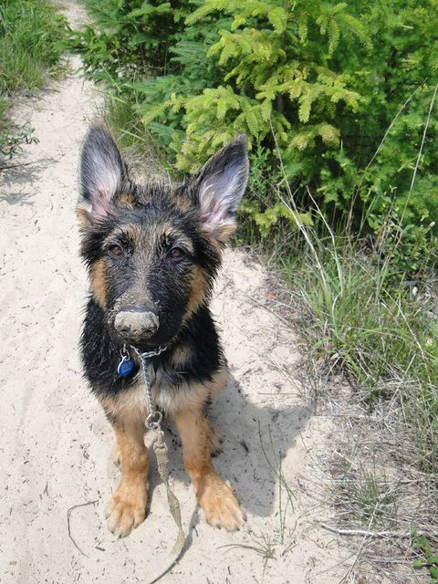 chrome of hearts German shepherd