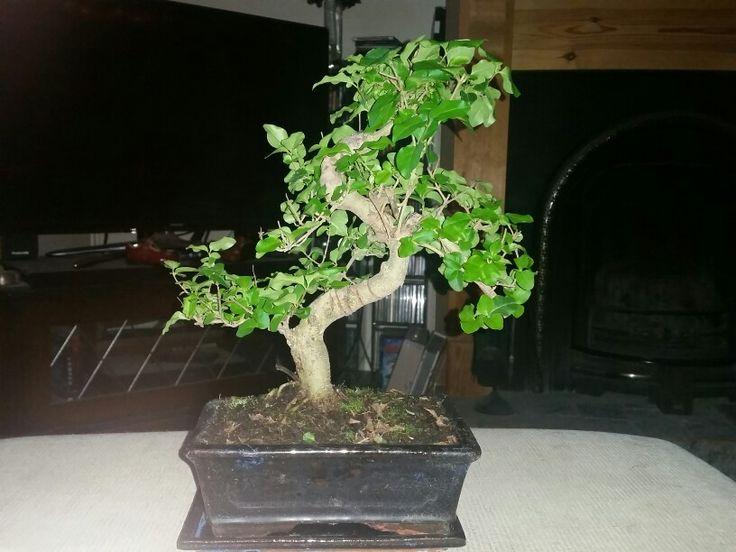 pin von lorraine smith auf bonsai tree's | pinterest, Gartengerate ideen