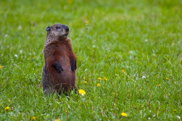 real groundhog