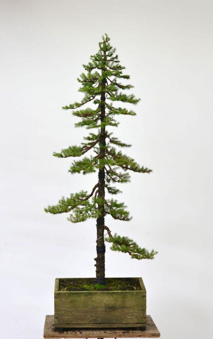 Ezo Spruce Formal Upright Styling