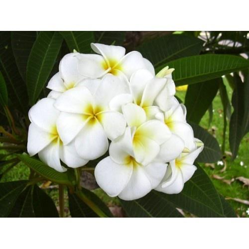 Chameli (Plumeria) flower -- so intoxicatingly fragrant!