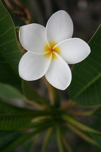 White Plumeria, the most perfect flower in my opinion.