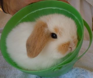 mini holland lop bunnies for sale - Google Search