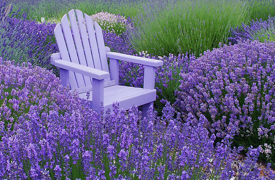 A perfect place to meditate!: Lavender Gardens, Adirondack Chairs, Cottages Gardens, Lavender Fields, Color, Gardens Chairs, Lavender Oil, Purple Gardens, Purple Flower
