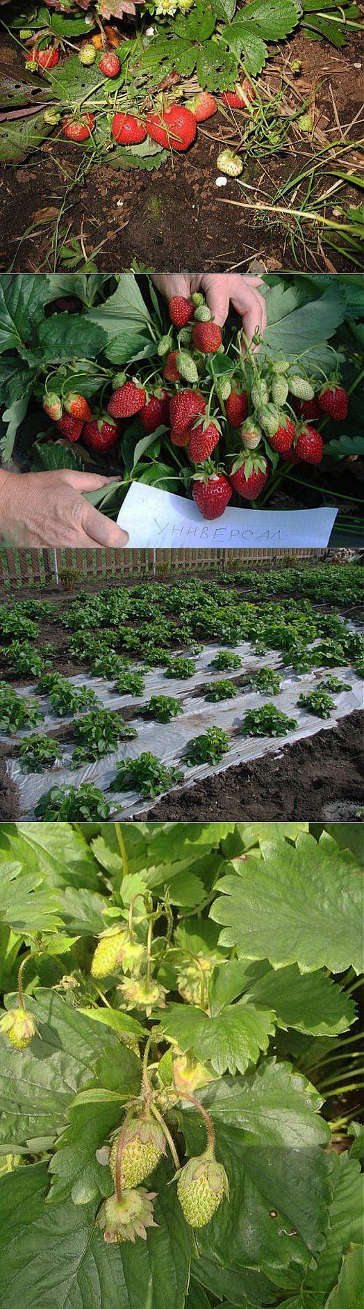 Делимся идеями по выращиванию клубники-земляники.... | ДАЧНЫЕ ОТВЕТЫ | Постила