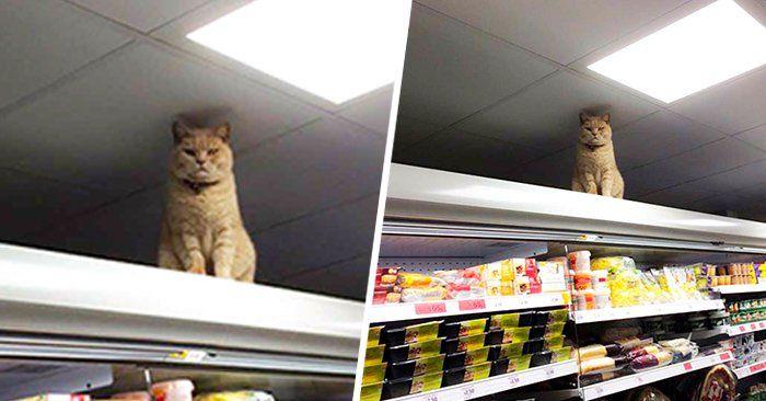 Este gato se metió en un supermercado de Londres y por más que lo sacan, éste regresa una y otra vez. Los dueños del super ya no saben que hacer con él.