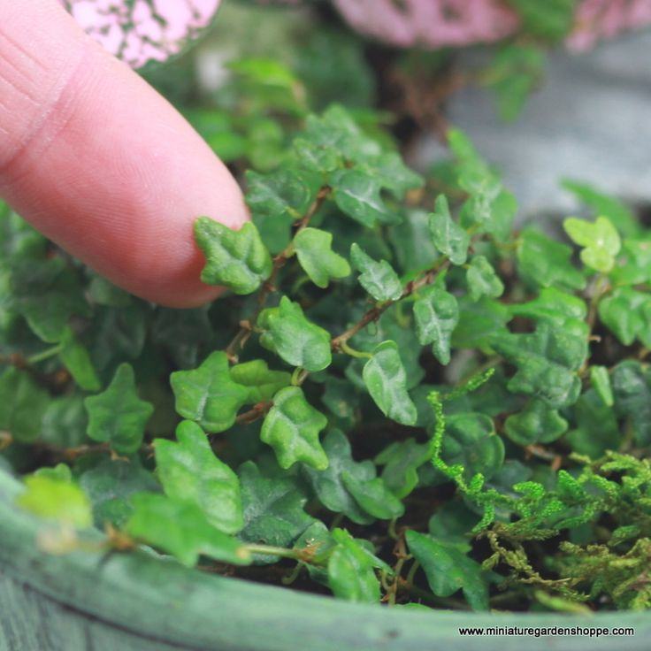 Plants for the fairy garden: Miniature Ivy