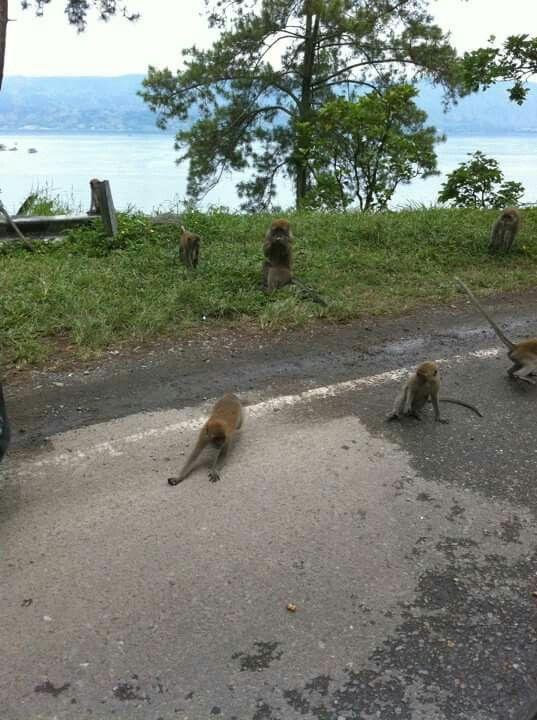 Toba monkey