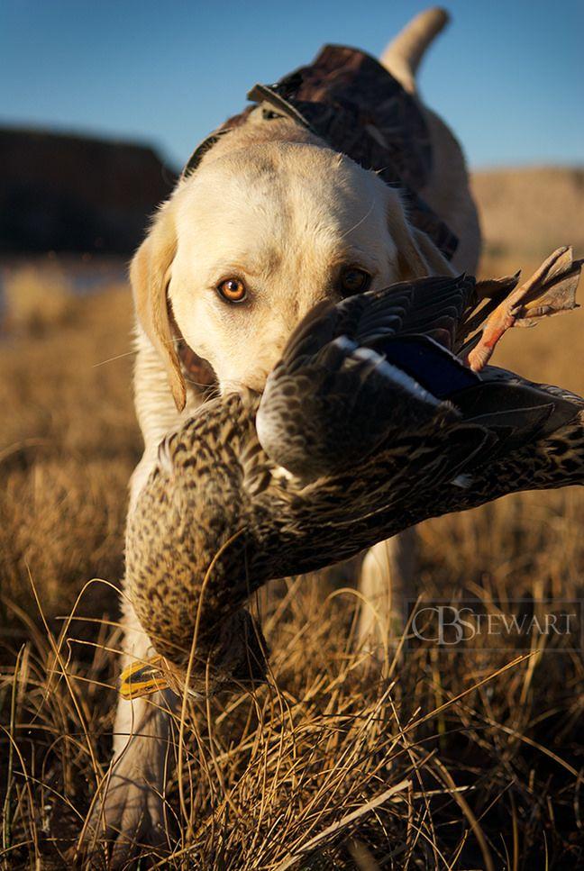 Yellow labrador Nevada duck hunting - CBStewart ...
