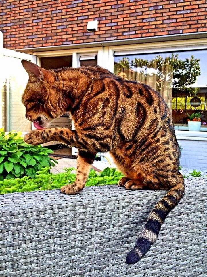 Pracht kat