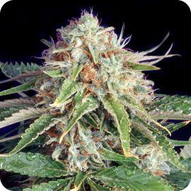 Fast Ryder II - strain - Bulldog Seeds | Cannapedia