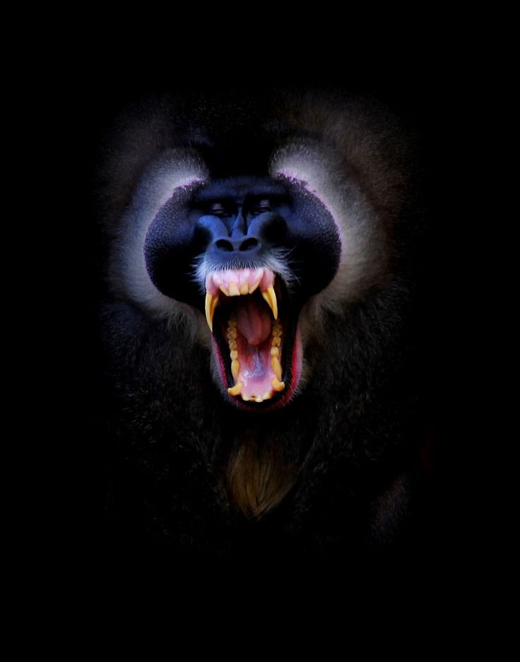 The mandrill (Mandrillus sphinx) is a primate of the Old World monkey family, closely related to the baboons. Mandrills mostly live in tropical rainforests and forest-savanna mosaics, in groups called hordes. Their diet is omnivorous, consisting mostly of fruits and insects.