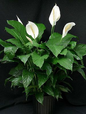 research has shown that indoor plants like peace lilies help to clean the air - White Flowering House Plants