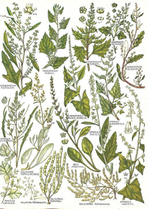 Vintage Botanical Print 1969.