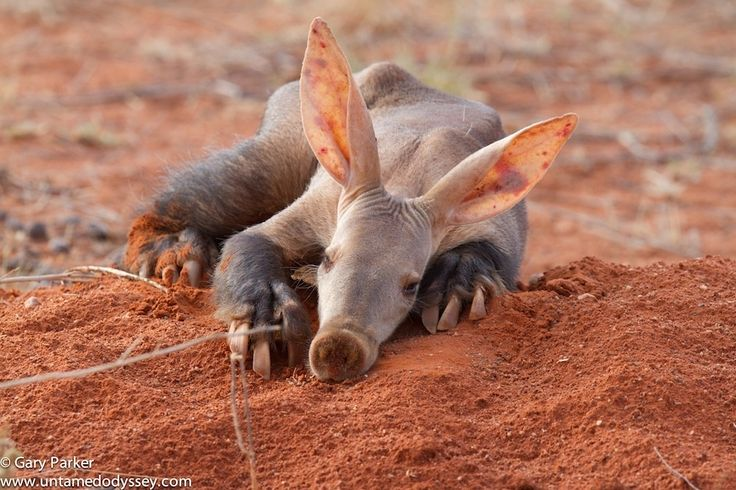 """Lazy Aardvark"" - We came across an Aardvark in the kalahari yesterday. This is a rare treat to see this animal that chose to have a sleep at outside the entrance of his borrow. We were in the sighting for 30 minutes and he decided to get up and carry on with his daily duties.   A rare sighting indeed."