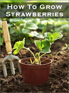 If you don't have space for a garden, you still have a few options–they can be grown in pots on a balcony, in flower beds and even hanging baskets. They generally produce fruit for two or three years so you can enjoy them again and again.   (CLICK ON STAWBERRIES IN A 5 GALLON BUCKET)