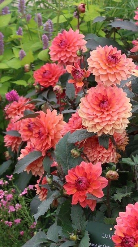 the 25+ best plante fleur rouge ideas on pinterest   plante rouge