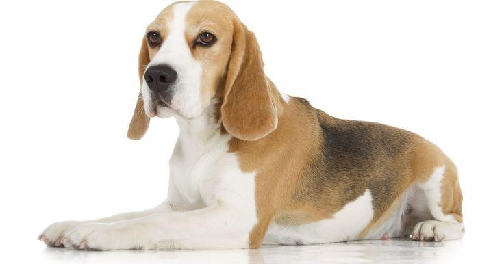 """Cómo entrenar a los cachorros beagle para cazar. Los beagles son perros dispuestos a la caza, por lo general son utilizados para rastrear presas pequeñas como conejos. El término """"beagling"""" se utiliza a menudo para referirse a la caza de conejos con uno o más perros beagle, corriendo a los conejos hasta el agotamiento, ladran o aullan a medida que avanzan, de modo que el cazador pueda seguirlos. ..."""