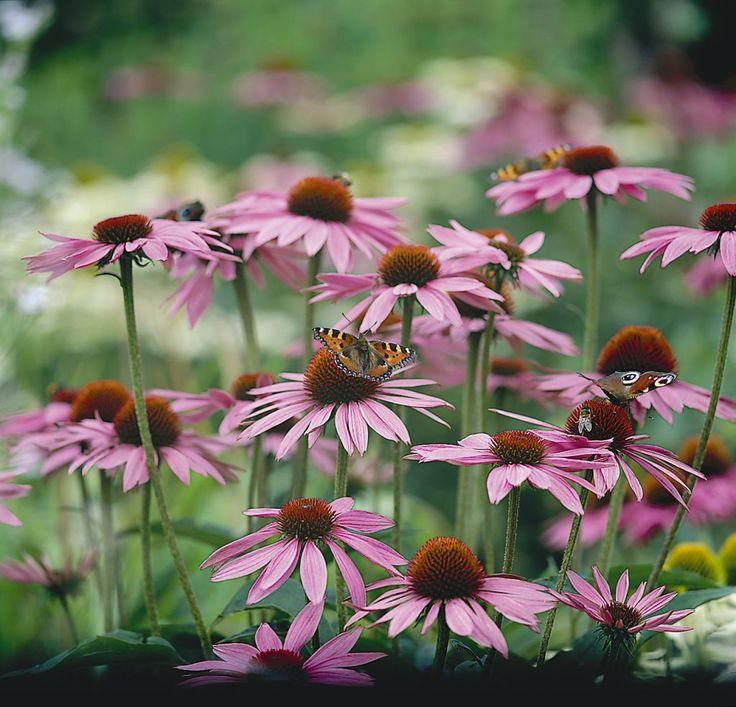 Echinacea Magnus. Garden IdeasBackyard