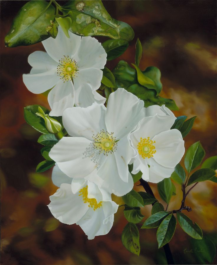1000+ images about Cherokee rose tattoos on Pinterest | Legends, Next day and Dogwood trees