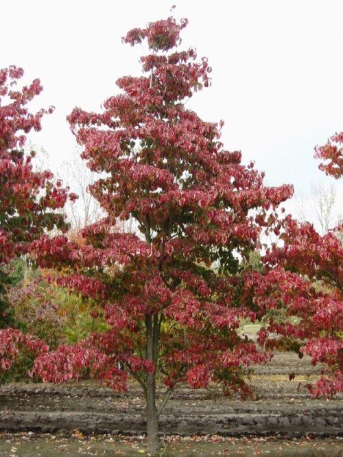 Cornus florida 'Red Sunset' #tree #autumn #colours www.vdberk.co.uk