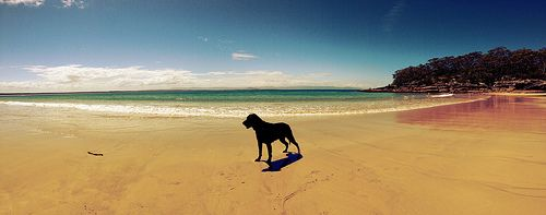 Jet, the beach dog in Currarong NSW