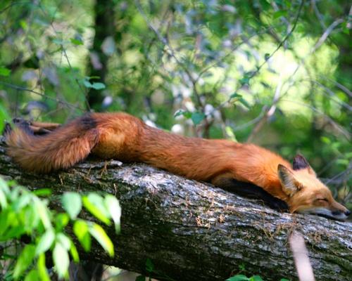 Sleepy Time | Pet fox, Fantastic fox, Fox spirit