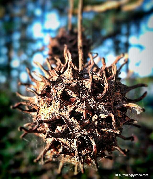 "Supernatural powers.  Sweet gum balls (""Witches Burrs"" or ""Witches Balls"") are a traditional American Hoodoo magical item. They are considered a powerful protection amulet and are used for protection on altars, in witch bottles and in spirit bags."
