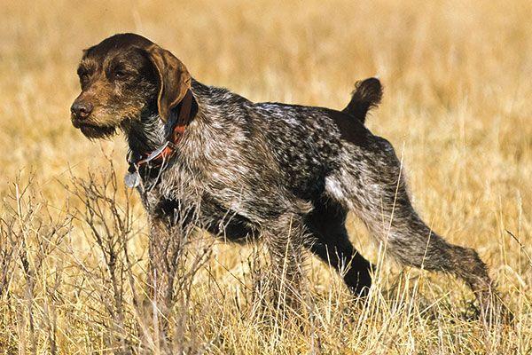 Breed Profile: German Wirehaired Pointer - Gun Dog Magazine