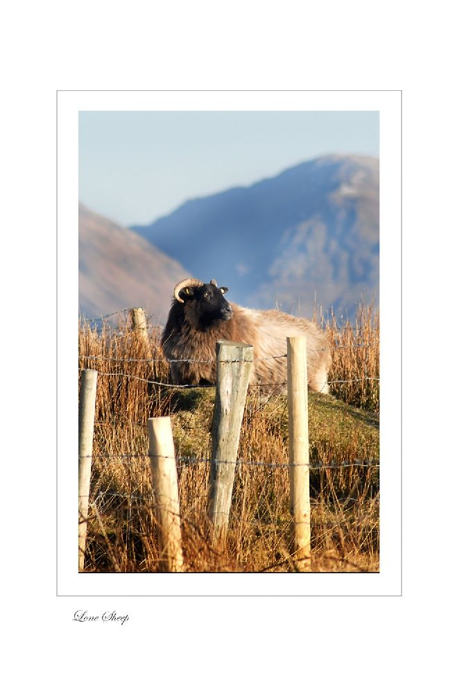 Lone Sheep by Jessica Priddy on ArtClick.ie