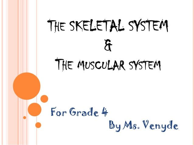 how to make a muscular system model