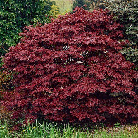 Japansk Blodlönn 50-60cm - Prydnadsbuskar - Växter & plantor - Bygghemma.se
