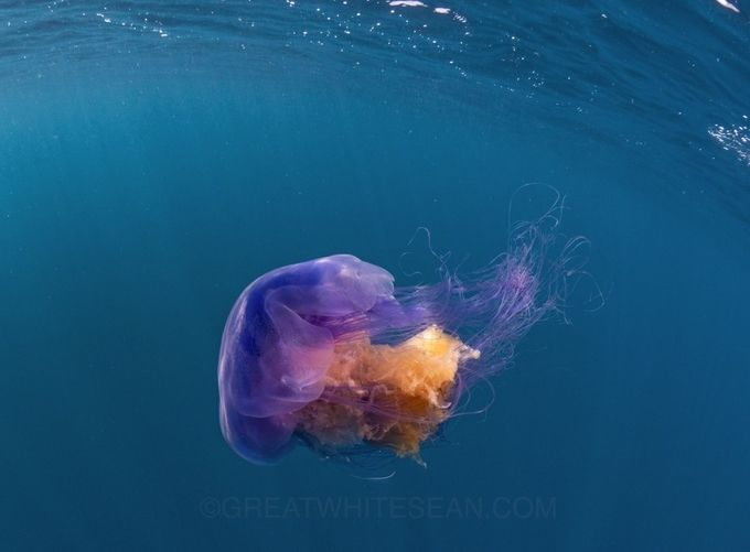 Jelly in Colour by Greatwhitesean - Animals And Water Photo Contest