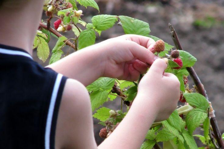 Hogyan kényeztessük a málnát tavasszal? | Hobbikert.hu