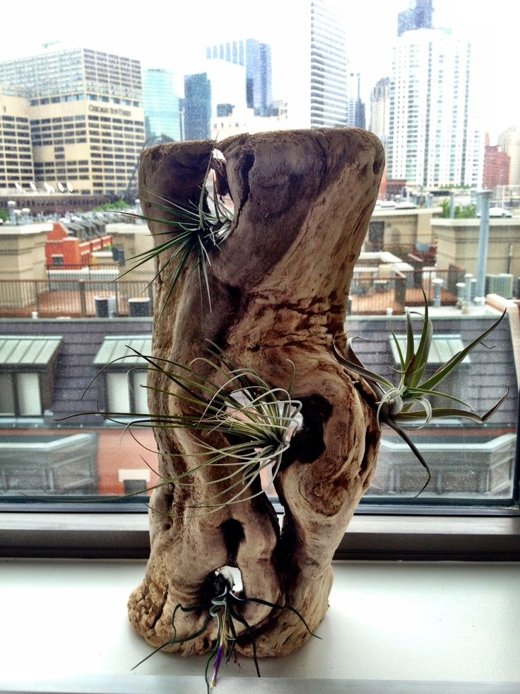 Driftwood with air plants