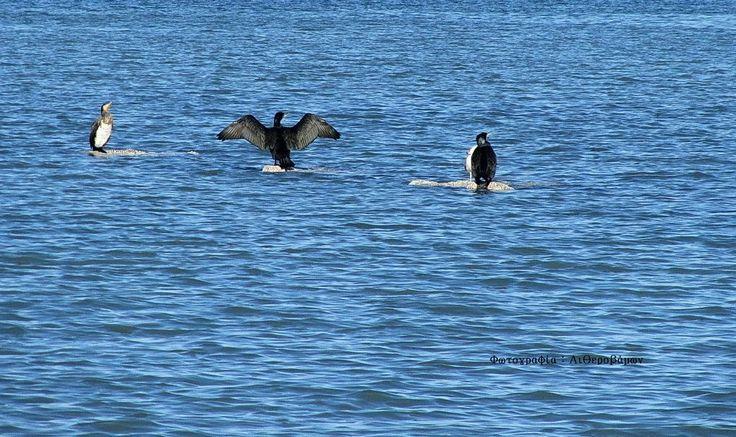 Κορμοράνοι στη λιμνοθάλασσα.